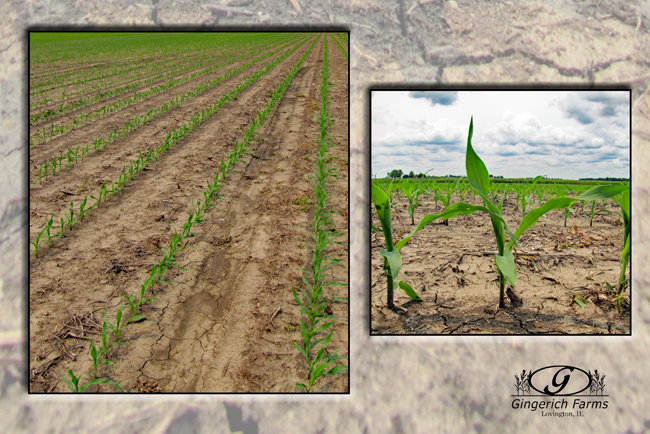 First planted corn at Gingerich Farms