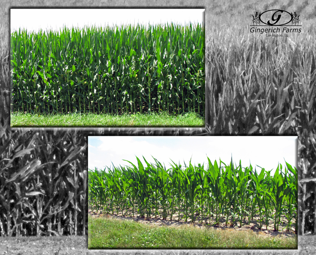 1st vs last planted corn at Gingerich Farms