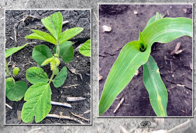 Bean & corn plant - Gingerich Farms