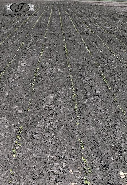 Bean field - Gingerich Farms