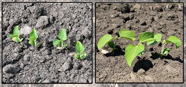 Bean plant - Gingerich Farms