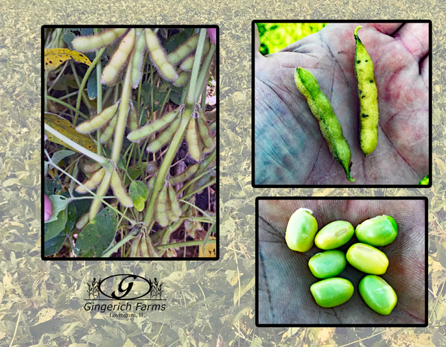 Maturing beans at Gingerich Farms