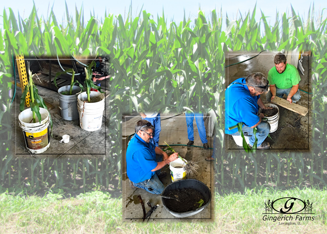 Checking for root worm at Gingerich Farms