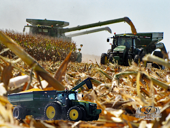 Harvesting corn at Gingerich Farms