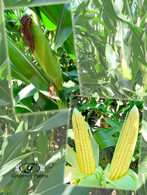 Corn - Gingerich Farms