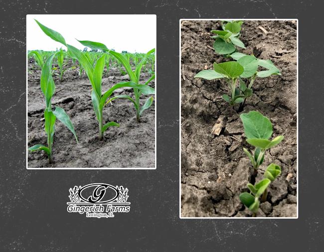 Corn & bean plants at Gingerich Farms