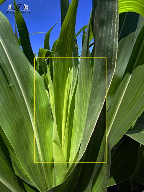 Corn leaf - Gingerich Farms