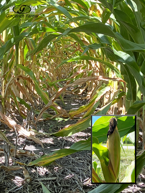 Corn changing - Gingerich Farms