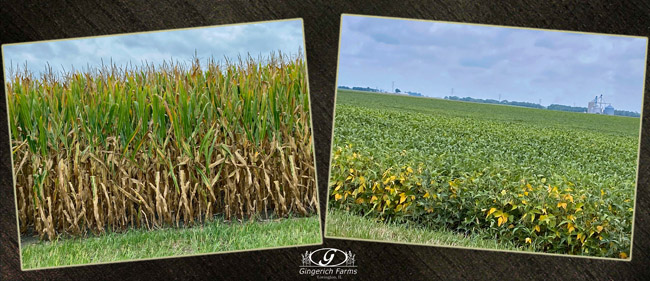 crops - Gingerich Farms