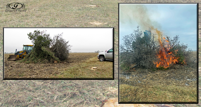 Cutting trees & burning at Gingerich Farms