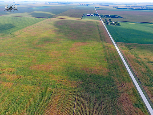 Corn Field - Gingerich Farms