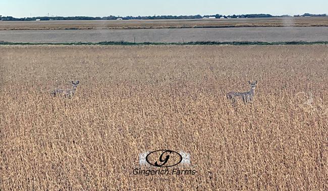 Deer in bean field Gingerich Farms