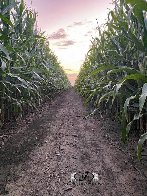 corn row - Gingerich Farms