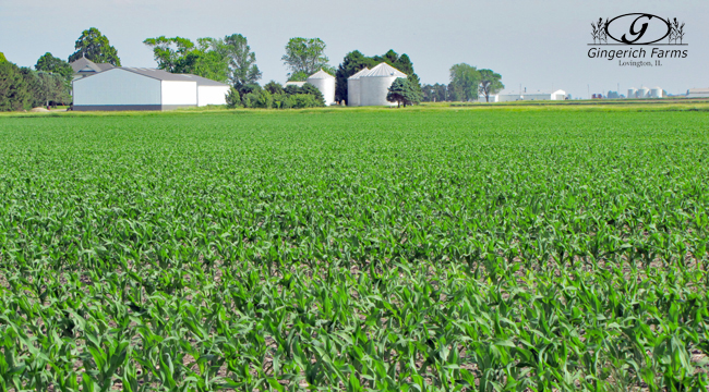 1st Planted corn at Gingerich Farms