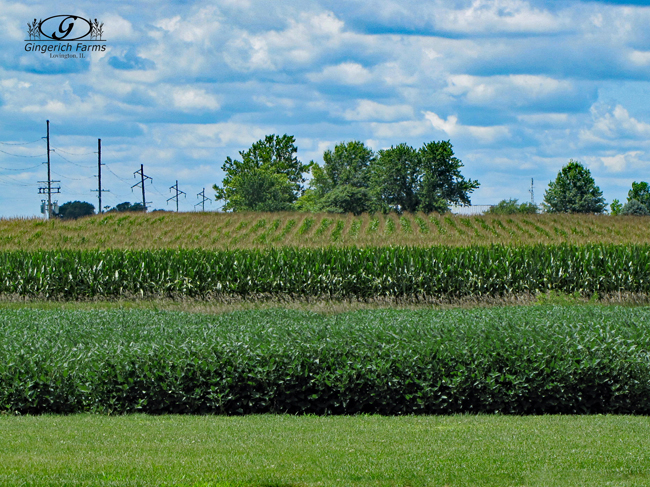 Crops at Gingerich Farms