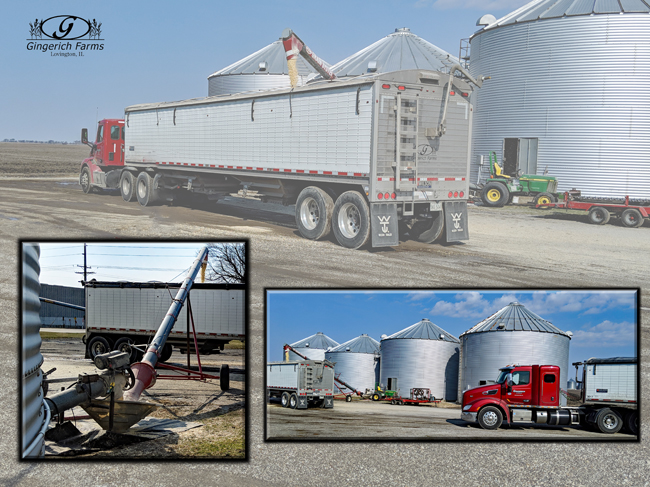 Hauling white corn at Gingerich Farms