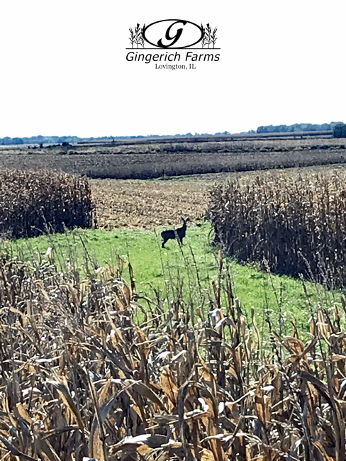 A deer in the corn field at Gingerich Farms