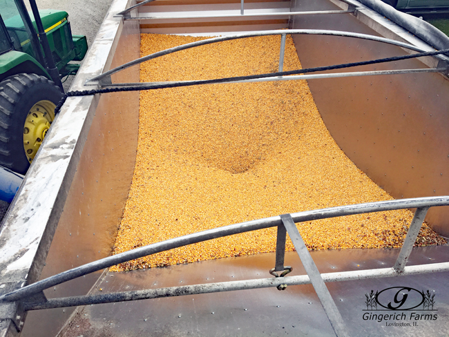Emptying trailer at Gingerich Farms