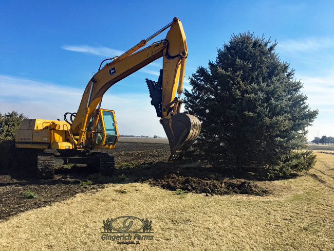 Removing bushes at Gingerich Farms