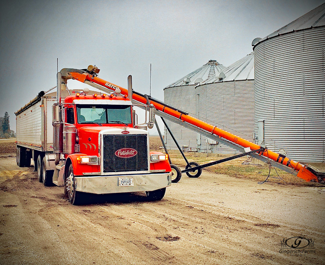Loading corn from bin at Gingerich Farms