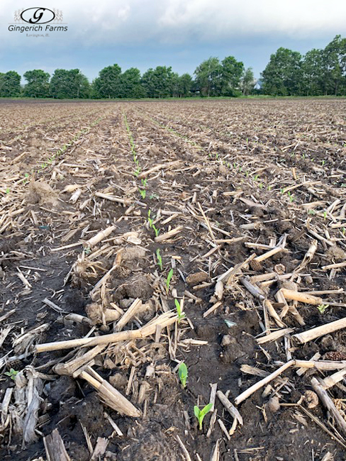 Corn planted a week ago at Gingerich Farms