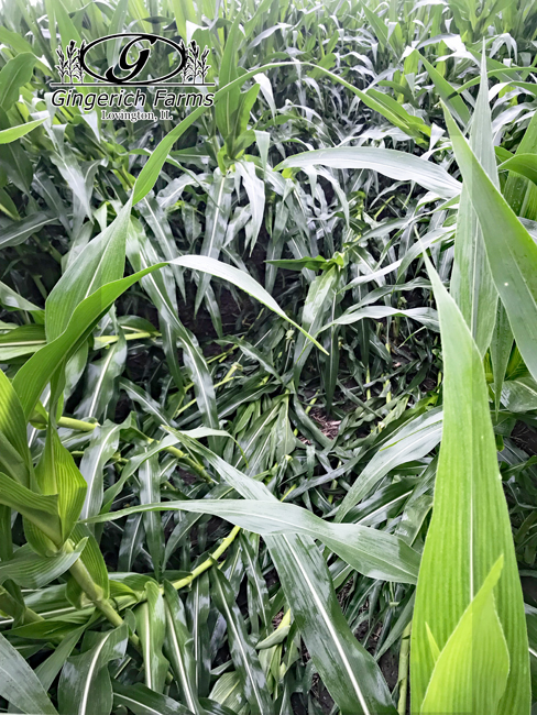 Corn damage at Gingerich Farms