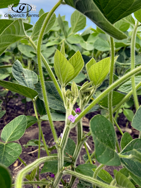 blooms on beans at Gingerich Farms