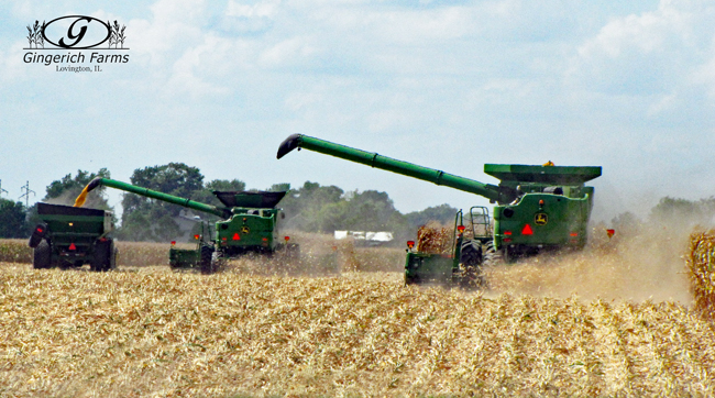 Harvesting at Gingerich Farms