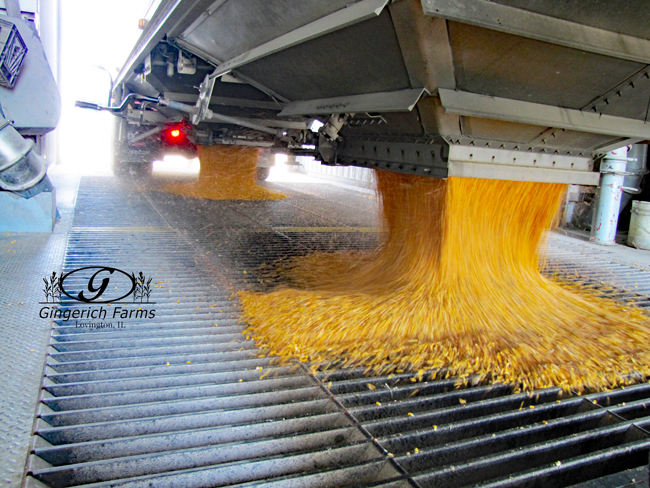 Emptying corn at Gingerich Farms