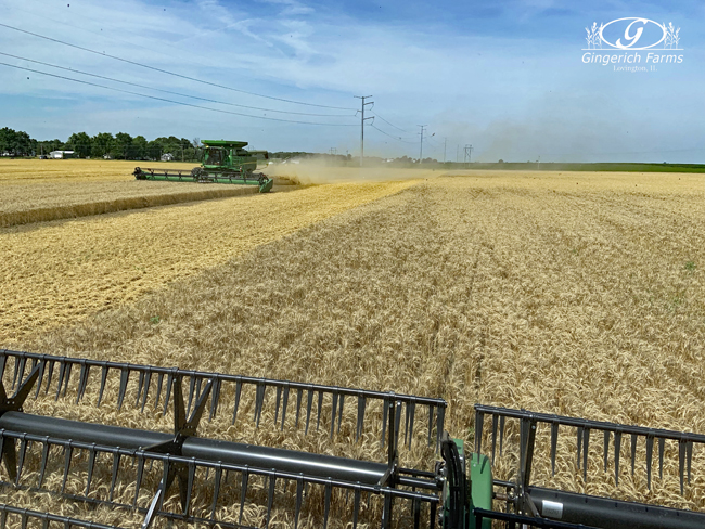 Wheat harvest at Gingerich Farms