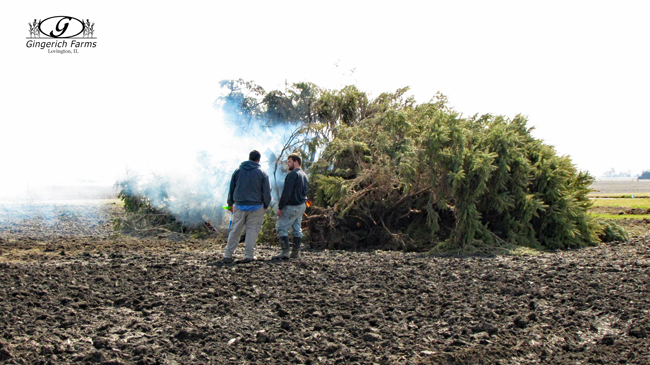 Burning bushes at Gingerich Farms