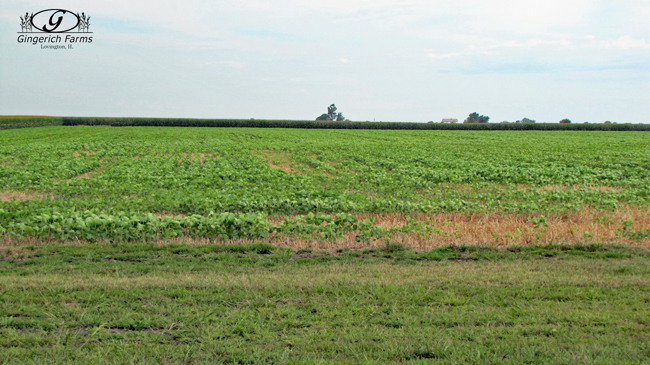 Double Crop beans at Gingerich Farms