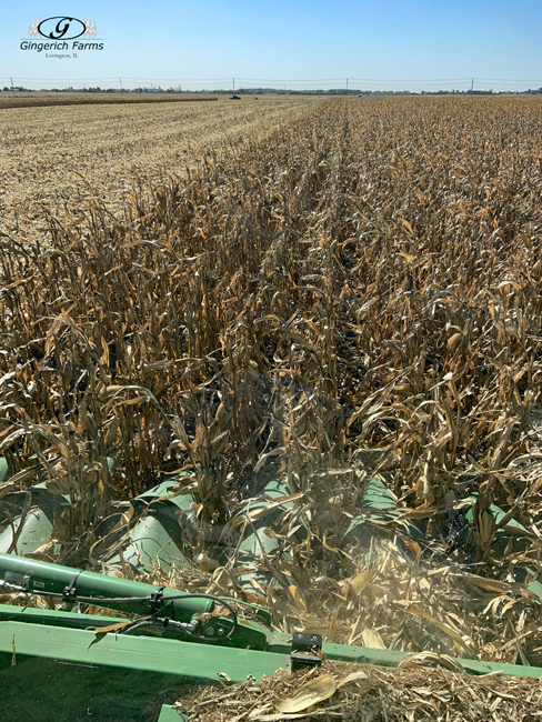 Corn Harvest-Gingerich Farms
