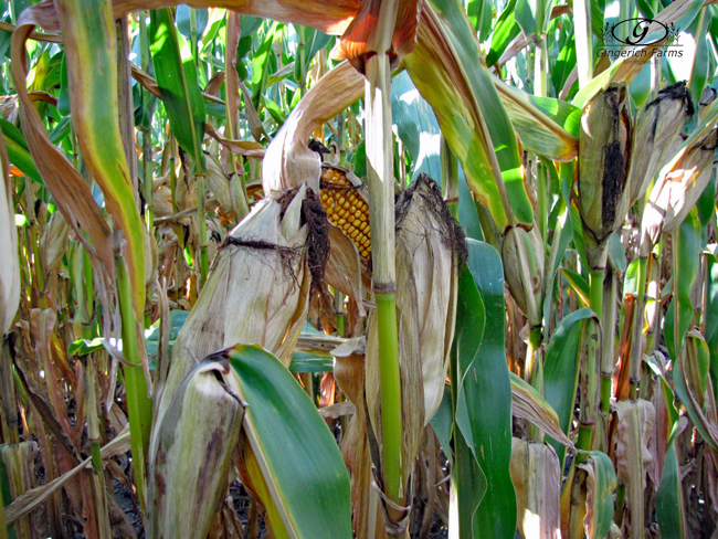Corn at Gingerich Farms