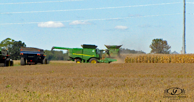 Starting corn field at Gingerich Farms