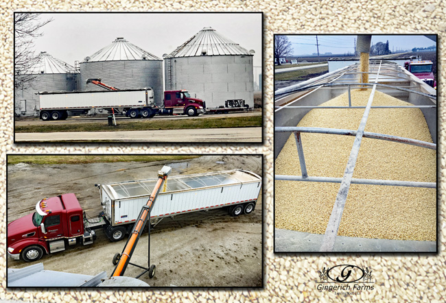 Loading white corn at Gingerich Farms