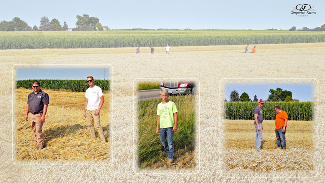 Looking at wheat - Gingerich Farms