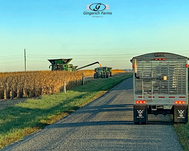 Corn harvest - Gingerich Farms