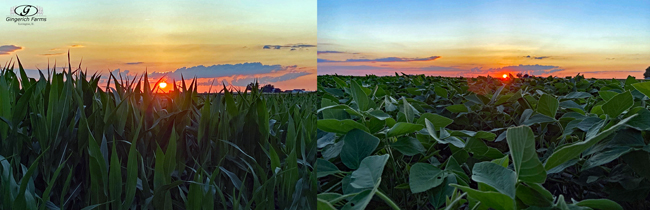 Sunset over fields - Gingerich Farms