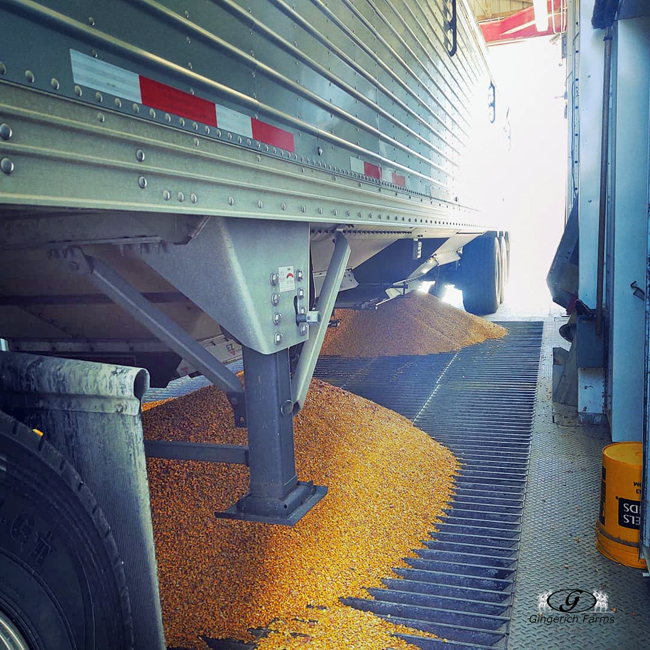 Unloading at GC - Gingerich Farms