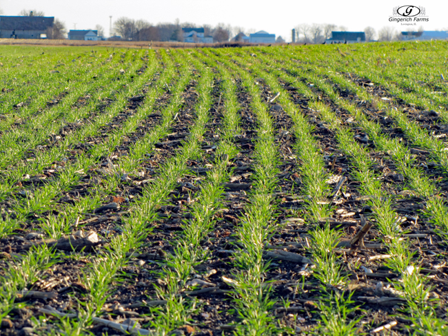 Wheat Field - Gingerich Farms