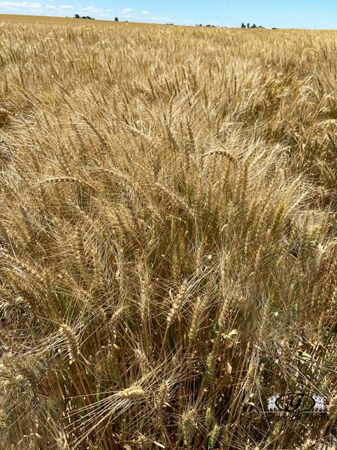 Wheat field - Gingerich Farms