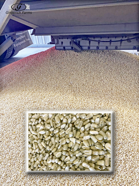 Unloading white corn - Gingerich Farms