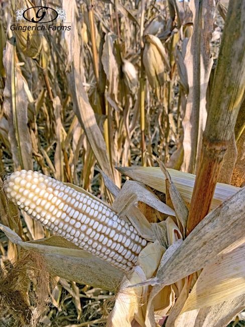White corn - Gingerich Farms