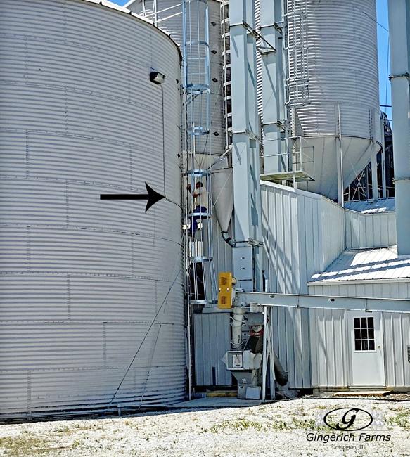 Checking grain in bin at Gingerich Farms