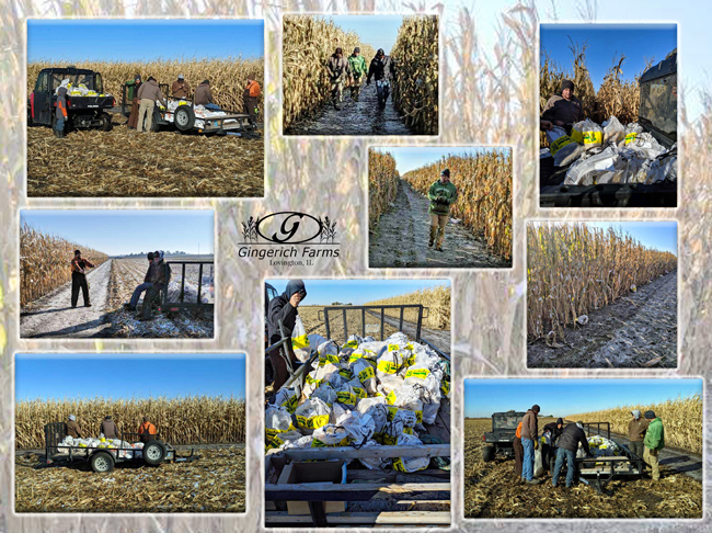 Collecting corn for hand harvest at Gingerich Farms