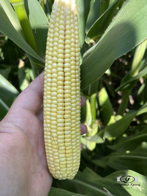 Ear of corn - Gingerich Farms